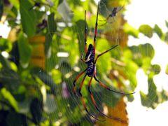 Nephila inaurata madagascariensis. Madagascar. Ranomafana villag by <b>Linda De Volder</b> ( a Panoramio image )