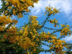 Candelillo de Guanacaste by Mel Figueroa by <b>Mel Figueroa</b> ( a Panoramio image )