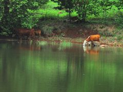 Reflecting cows by <b>j. adamson</b> ( a Panoramio image )