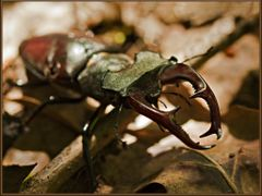 Stag beetle on jaunt // Ekoxe pa vift. THX Karin S! :) by <b>Isse</b> ( a Panoramio image )