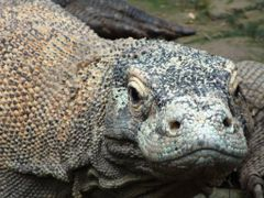 Dragon. Komodo Varan. by <b>mrmvs</b> ( a Panoramio image )