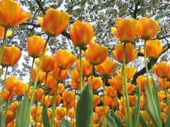 Tulips_Keukenhof-7 by <b>Jan Pereboom</b> ( a Panoramio image )