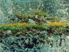 Blomster p klippehylde Narsarsuaq by <b>xpal</b> ( a Panoramio image )
