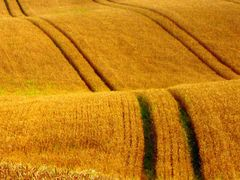 wheatfield in autumn by <b>Snemann</b> ( a Panoramio image )