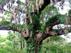 Evergreen Oak by <b>livingworld</b> ( a Panoramio image )