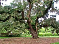 Knarly Oak by <b>livingworld</b> ( a Panoramio image )