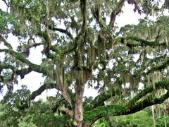 Quercus by <b>livingworld</b> ( a Panoramio image )