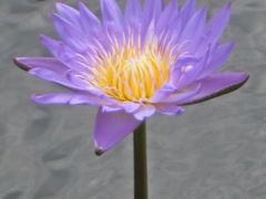 Water Lily by <b>livingworld</b> ( a Panoramio image )
