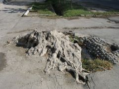 Ferghana, street, plane tree stump by <b>igor_alay</b> ( a Panoramio image )