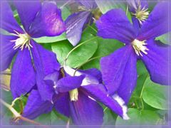 Clematis by <b>P i a</b> ( a Panoramio image )