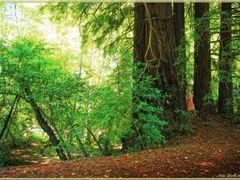 Redwood Trees (Pfeiffer Big Sur State Park, California) by <b>Rita Eberle-Wessner</b> ( a Panoramio image )