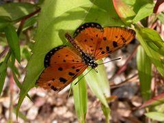 Lepidoptera by <b>Melnitsky Stanislav</b> ( a Panoramio image )