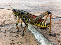 Grasshopper by <b>iphotos</b> ( a Panoramio image )