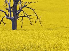 Galong canola 1 by <b>Paul Strasser</b> ( a Panoramio image )