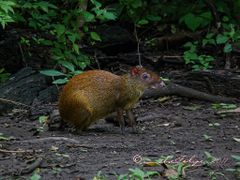 Dasyprocta punctata silvestre, (guatusa) en el Parque Nacional S by <b>Melsen Felipe</b> ( a Panoramio image )