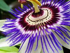 Blue Passion Flower by <b>emma-rc</b> ( a Panoramio image )