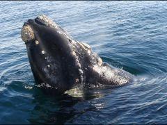 Ballena franca: avistaje desde un catamaran by <b>Mal@cal  :)</b> ( a Panoramio image )