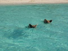 Exuma Cays Swimming Pigs by <b>Goldpan</b> ( a Panoramio image )