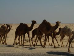 Camels on Desert by <b>anjithalk</b> ( a Panoramio image )