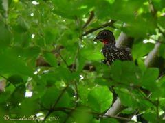 Penelope purpurascens (pava crestada o monuda), Parque Nacional  by <b>Melsen Felipe</b> ( a Panoramio image )