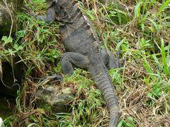 Iguana en La Casona del Parque Nacional Santa Rosa, Guanacaste,  by <b>Melsen Felipe</b> ( a Panoramio image )