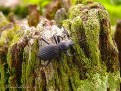 Escarabajo en los corrales de La Casona, Parque Nacional Santa R by <b>Melsen Felipe</b> ( a Panoramio image )