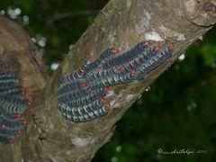 Arsenura armida  (larvas), Parque Nacional Santa Rosa, Guanacast by <b>Melsen Felipe</b> ( a Panoramio image )