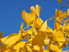 Gingko by <b>Willi Frerich</b> ( a Panoramio image )
