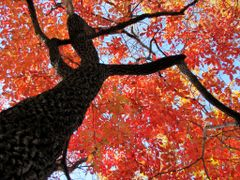 Autumn Red Of A Black Gum Tree © All Rights Reserved  by <b>jgevans</b> ( a Panoramio image )