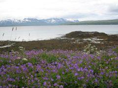 flowers and beach near sydspissen by <b>matkustava_kissa</b> ( a Panoramio image )