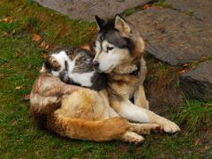 Friendship-Tolerance /   Old Husky(16 yares) and Kitten          by <b>Karel H.</b> ( a Panoramio image )