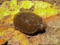 Tortuga (de 4 cm), Refugio Nacional de Vida Silvestre  Iguanita, by <b>Melsen Felipe</b> ( a Panoramio image )