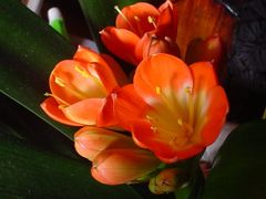 A Kaffir Lily (a clivia minata) by <b>peacemaker453354 (No Views)</b> ( a Panoramio image )