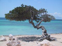 Aruba, Eagle Beach, Fofoti Tree by <b>© Wim</b> ( a Panoramio image )