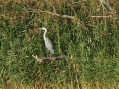 Czapla siwa  ==  Ardea cinerea   ==  Grey Heron by <b>Dworzanski.Gryfino</b> ( a Panoramio image )