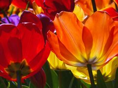 Tulip Festival, Botanic Gardens, Wellington, New Zealand by <b>Rogerbee</b> ( a Panoramio image )