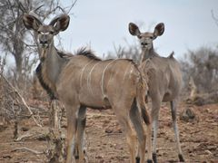 Kudus in Chobe National Park - Botswana by <b>diego_cue</b> ( a Panoramio image )