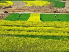 Mustard and Wheat ---  the VIVID Contrast ! by <b>Mansoor Goheer</b> ( a Panoramio image )
