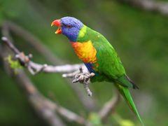 rainbow lorekeet by <b>Simon Davis</b> ( a Panoramio image )