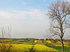 PHOOLY HAY SARSON (The Blooming Mustard) 2 by <b>Mansoor Goheer</b> ( a Panoramio image )
