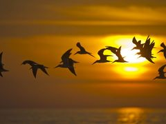 Black Skimmers by <b>BEEP</b> ( a Panoramio image )