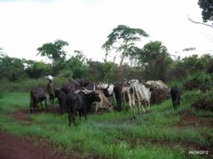 a buffles herd ( between Bombara and Bombiti ) by <b>courtoism</b> ( a Panoramio image )