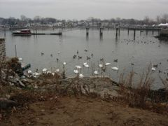 geese, ducks, and swans by <b>Aaron A</b> ( a Panoramio image )