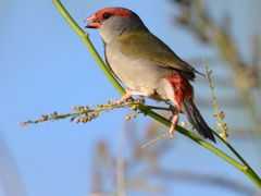 Red-browed Finch by <b>absnapfastphotography</b> ( a Panoramio image )