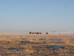two-humped camel (Mongolia) by <b>Баярбаатар</b> ( a Panoramio image )