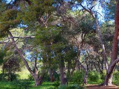 Pinadas en la Devesa del Saler by <b>SocVoro</b> ( a Panoramio image )
