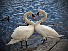 mute swans in love by <b>Марко Миленковић</b> ( a Panoramio image )