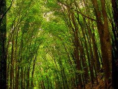 Man-Made Forest Bilar,Bohol by <b>clsobrino</b> ( a Panoramio image )