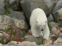 icebear,jaakarhu,ranua zoo by <b>juzo106</b> ( a Panoramio image )