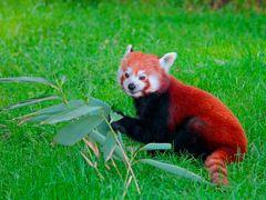Red Panda by <b>Dean Matthews</b> ( a Panoramio image )